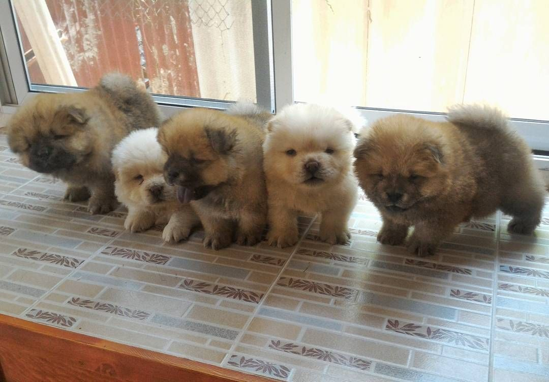 Chow Chow Chow Chow Puppy Boo The Dog Cute Baby Animals
