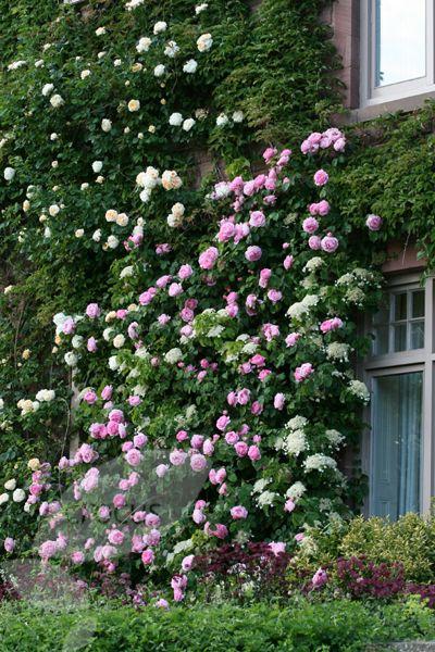 Rosa Gertrude Jekyll (\'Ausbord\') (PBR) | Rose Gardens | Pinterest ...