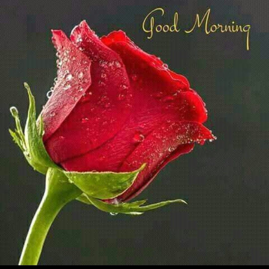 Pin By Dinesh Kumar Pandey On Good Morning Good Morning Flowers Morning Flowers Red Roses