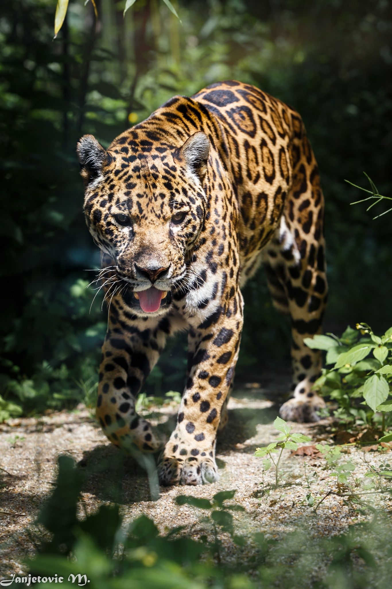 Photo of Jaguar – Jaguar