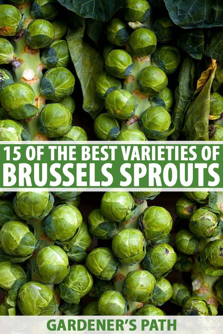 15 of the best brussels sprout varieties gardeners path