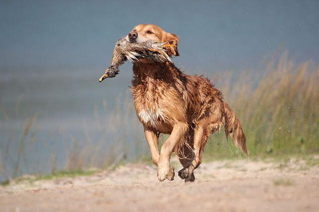 80 Clever Names For Golden Retrievers Dog Names Hunting Dog Names Dog Names Unique