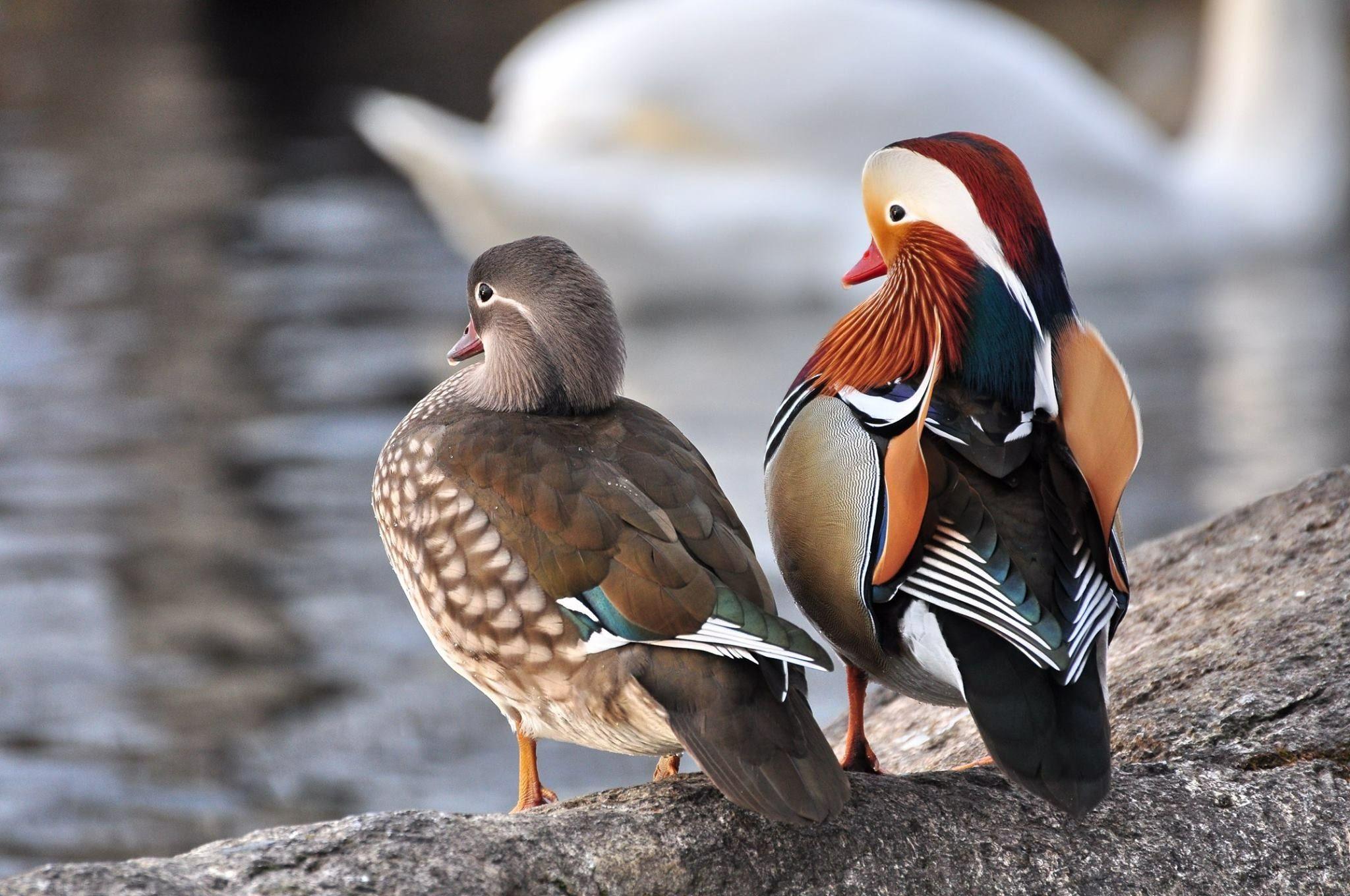 Www Klimanaturali Org Mandarin Duck Bird Pictures Pretty Birds