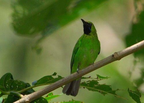 Download Mp3 Suara Burung Cucak Hijau Untuk Masteran Situsburung Com Hijau Burung Suara