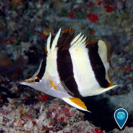 Photo Of A Butterflyfish National Marine Sanctuary Photo Beautiful Fish