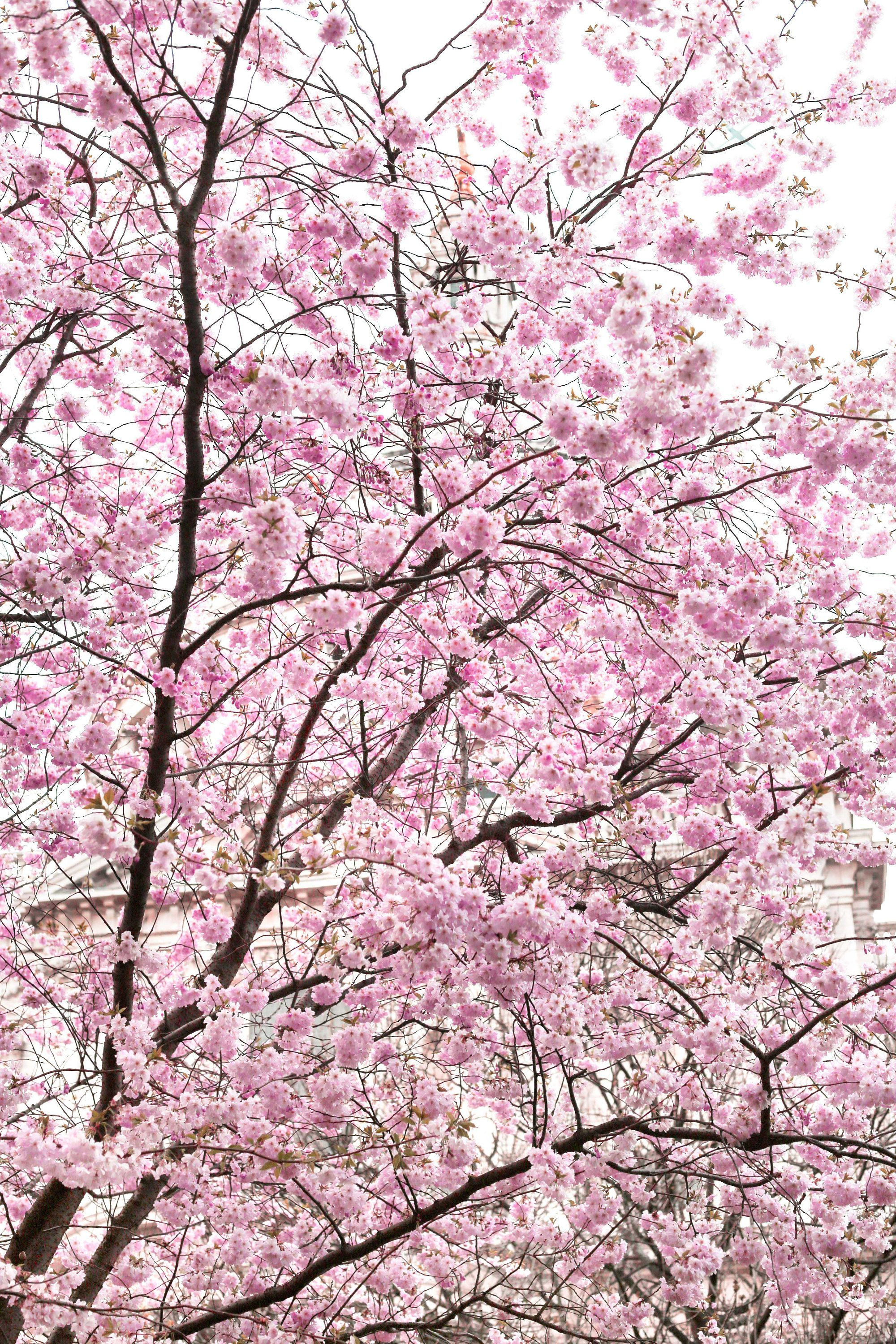 Where To See Magnolia And Cherry Blossom In London Printable Guide And Map London Magnolia Europe Travel