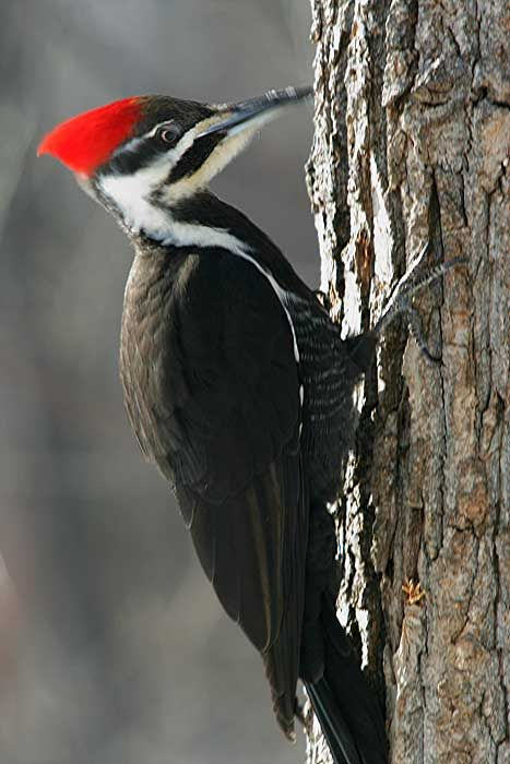Pileated Woodpecker and other birds  Pjaro carpintero Pjaro y Ave