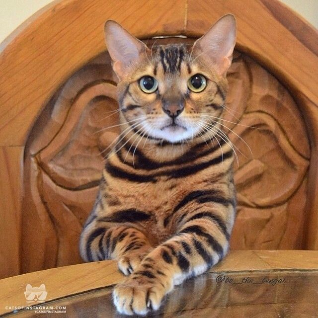 """From @bo_the_bengal: """"Why Don't You Have A Seat And"""