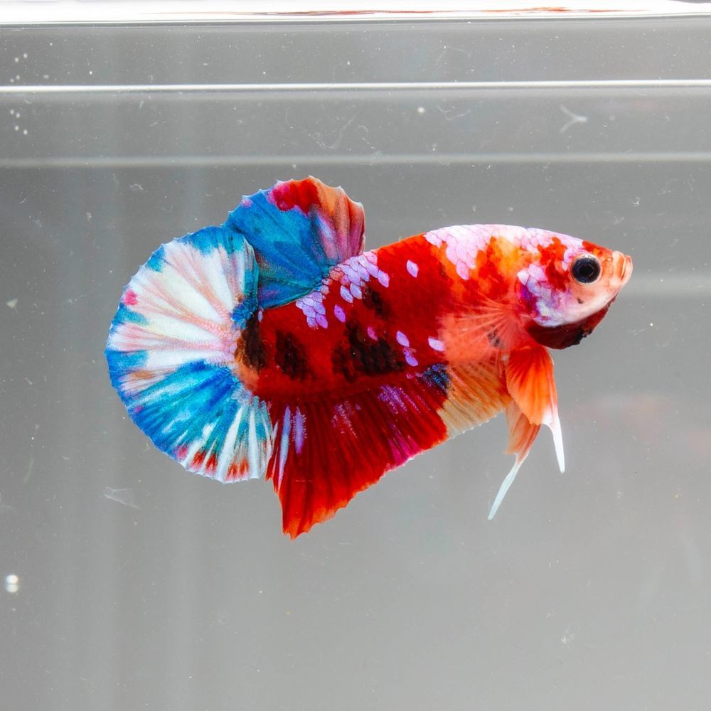 Live Fish Fancy Blue Halfmoon Betta Pair Hmm0992 Hmf0992 Usa Based Seller