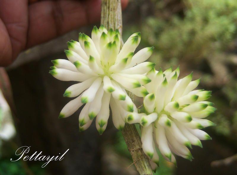 Dendrobium purpureum 'album' | Orchids Online