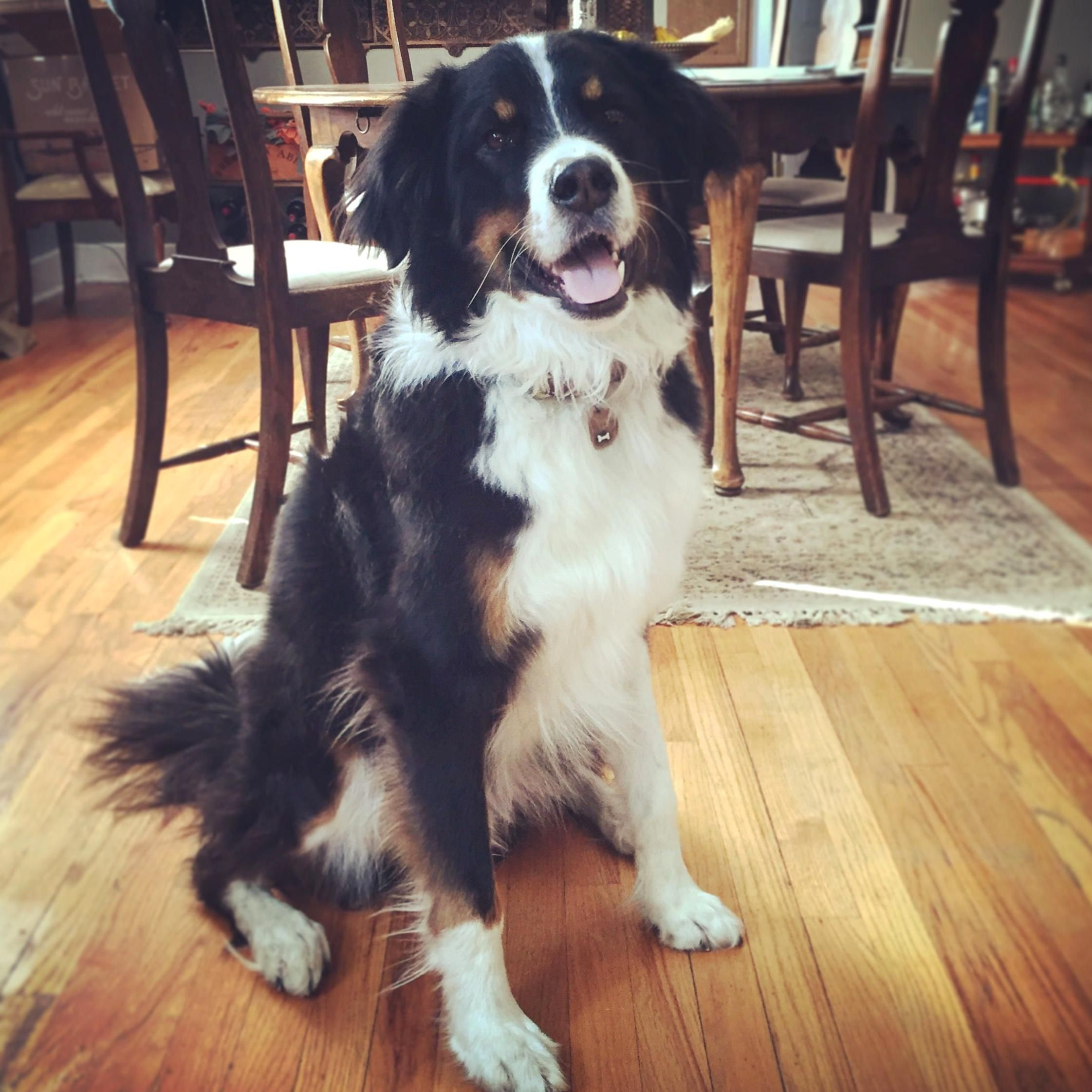 Great Bordernese Great Pyrenees Border Collie and Bernese