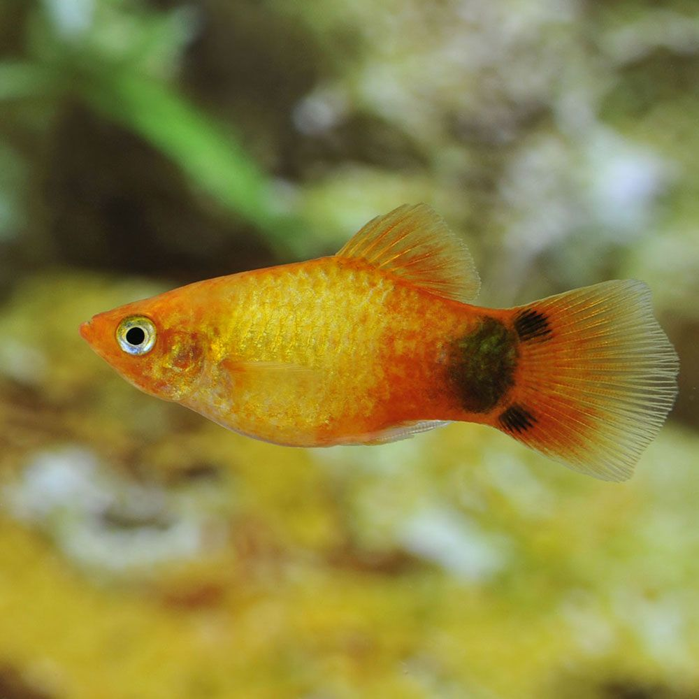 Freshwater Aquarium Fish Under 1 Inch - Yellow platy moons platies for freshwater aquariums petsolutions