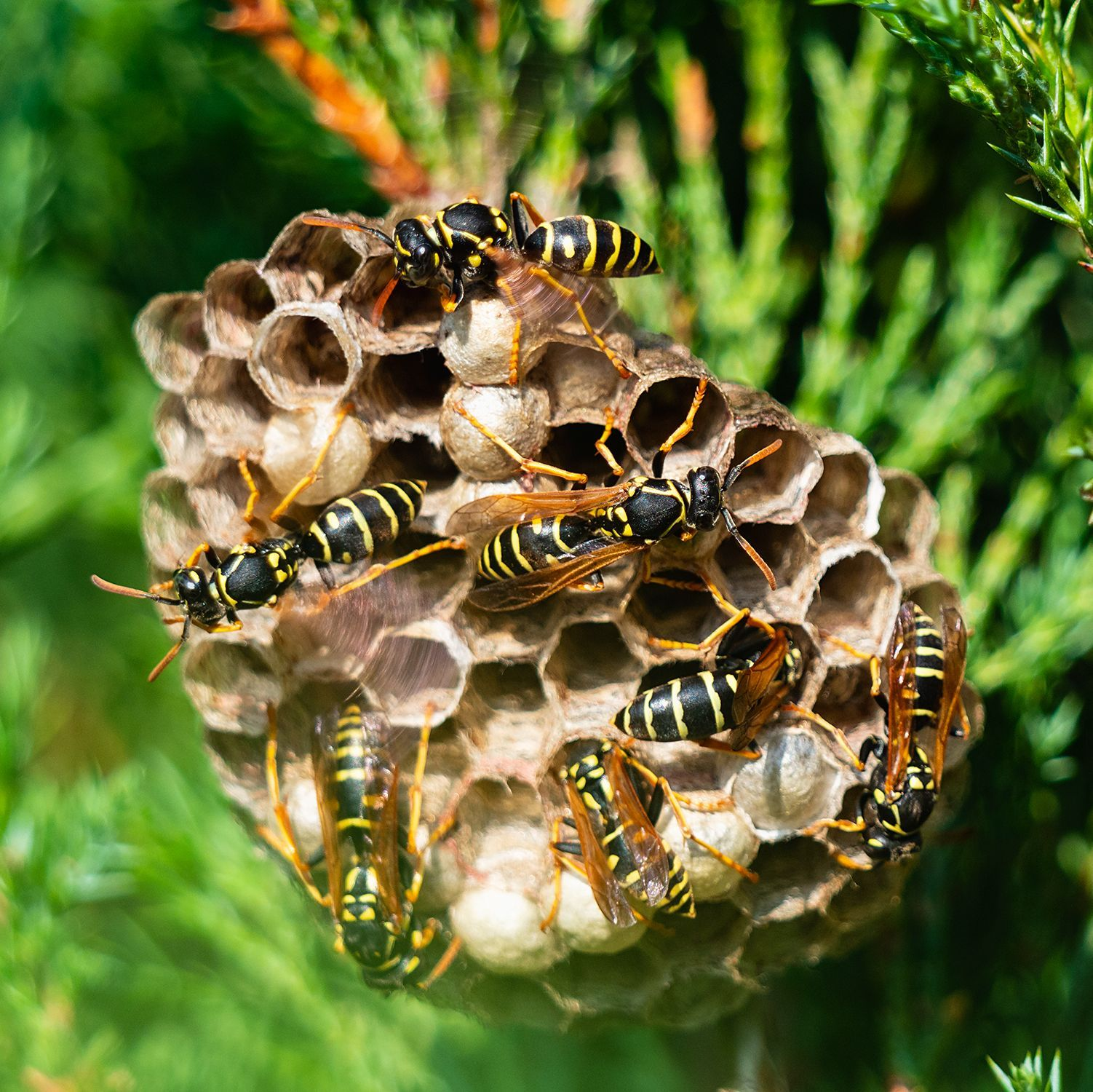 How To Get Rid Of Wasps And Yellow Jackets In 2020 Yellow Jacket Trap Get Rid Of Wasps Wasp