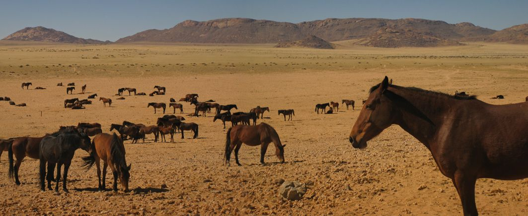 The Namib Desert Horse is a rare feral horse found in the Namib Desert of Namibia, Africa. It is probably the only feral herd of hor...