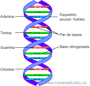 Estructura Adn Biologia Molecular Adn Y Base Nitrogenada