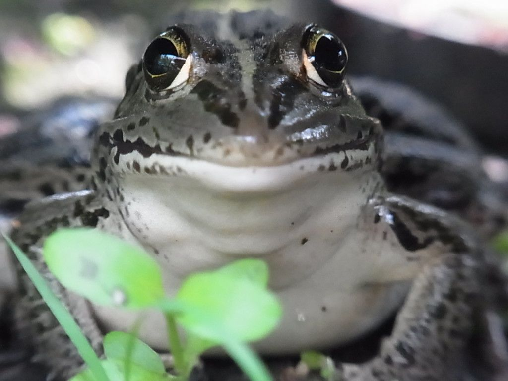 Daruma pond frog (Pelophylax porosus porosus) トウキョウダルマガエル