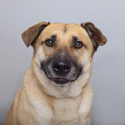 05/15/16 -Duke Dog • German Shepherd Dog & Chow Chow Mix • Adult • Male • Large Best Friends Pet Adoption & Spay Neuter Center Mission Hills, CA