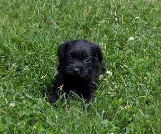 Litter Of 3 Yorkie Poo Puppies For Sale In Ligonier Pa Adn 36932 On Puppyfinder Com Gender Female Age 5 Weeks Old Yorkie Poo Yorkie Puppies For Sale