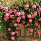 100 Pcs Climbing Rose Seeds Garden Home Balcony Fences Decor Plants Flowers NICE #plants #seeds #knockoutrosen 100 Pcs Climbing Rose Seeds Garden Home Balcony Fences Decor Plants Flowers NICE #plants #seeds #knockoutrosen 100 Pcs Climbing Rose Seeds Garden Home Balcony Fences Decor Plants Flowers NICE #plants #seeds #knockoutrosen 100 Pcs Climbing Rose Seeds Garden Home Balcony Fences Decor Plants Flowers NICE #plants #seeds #knockoutrosen 100 Pcs Climbing Rose Seeds Garden Home Balcony Fences D #knockoutrosen