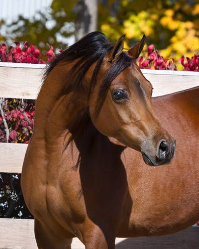 Arabian Horse Arabian Horse Show - Western Competition