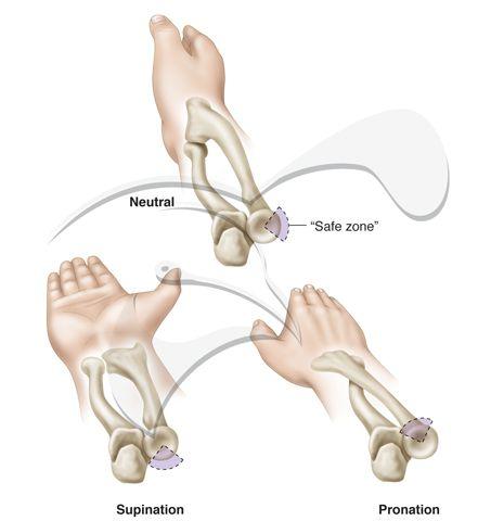 Rotation Anatomy Forearm Rotation | Hum...