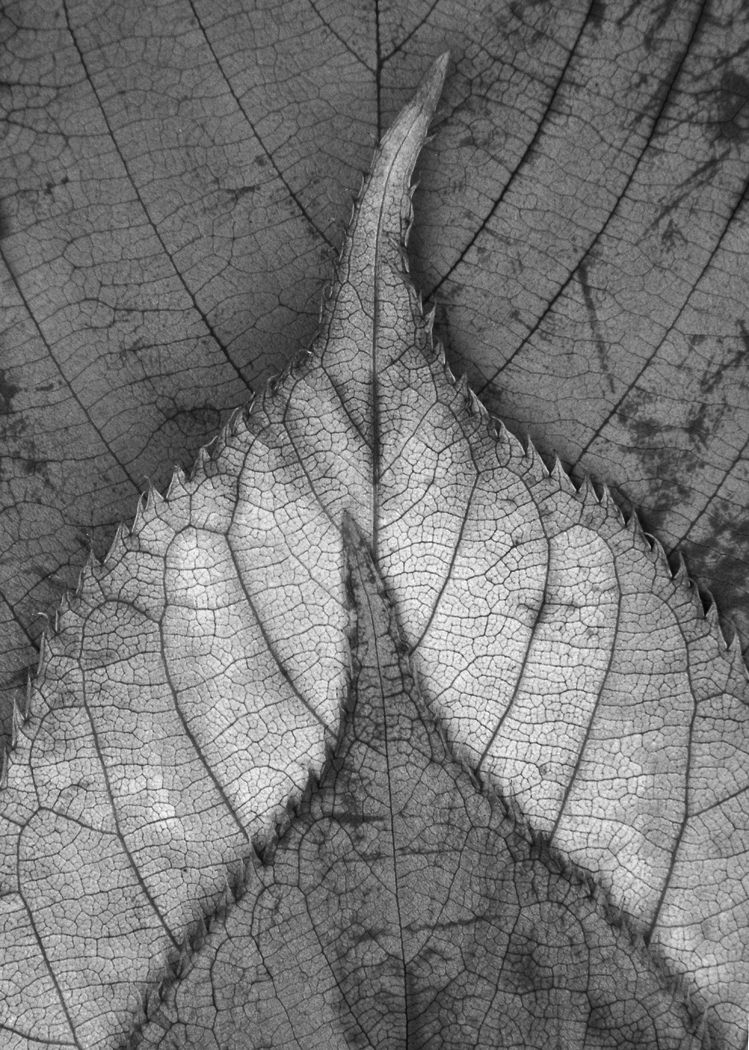 leaves black and white - Google Search