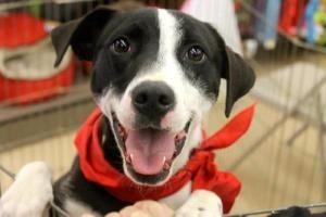 Adopt Jack On With Images Dog Adoption Animals Beautiful Labrador Retriever Dog