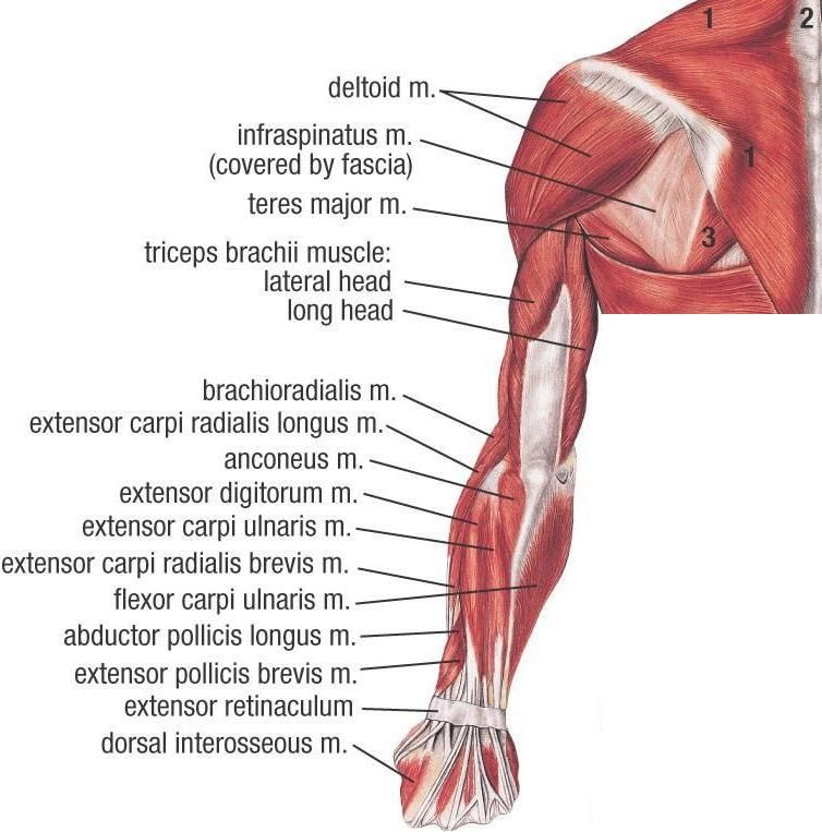 Muscles Of Upper Extremity Posterior Superficial View Upper Limb
