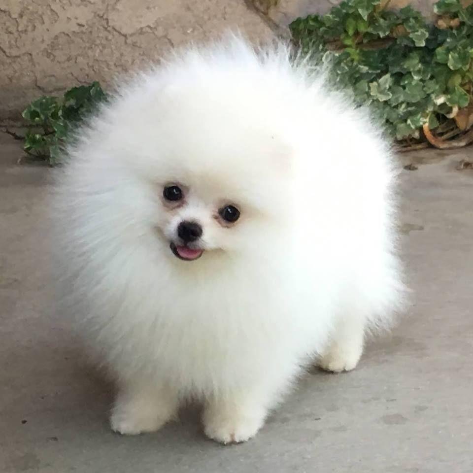Pin di alice crescini su animali dolci fluffy dogs for Cani pomerania
