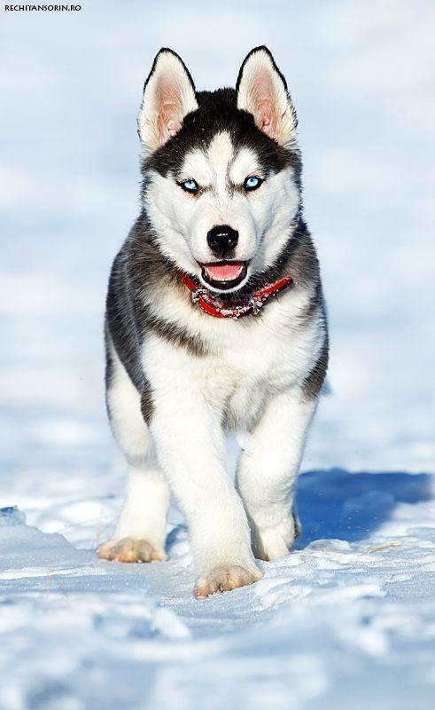 Husky Puppy On Snow Siberian Husky Dogs Beautiful Dogs