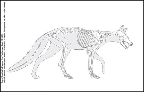 fox_small.jpg (558×356) | animal anatomy | Pinterest | Mr fox, Foxes ...