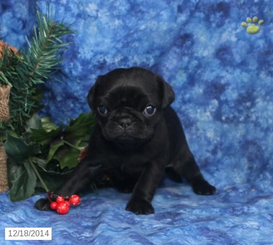 Pug Puppy for Sale in Pennsylvania