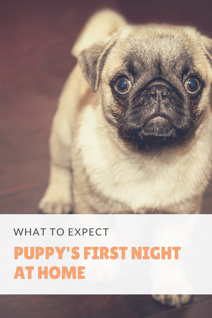 Puppy S First Night At Home What To Expect Puppy Training Crate Training Puppy Puppy Training Schedule