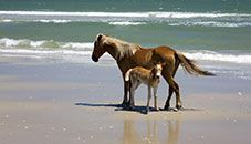 Banker Pony Mare and Foal