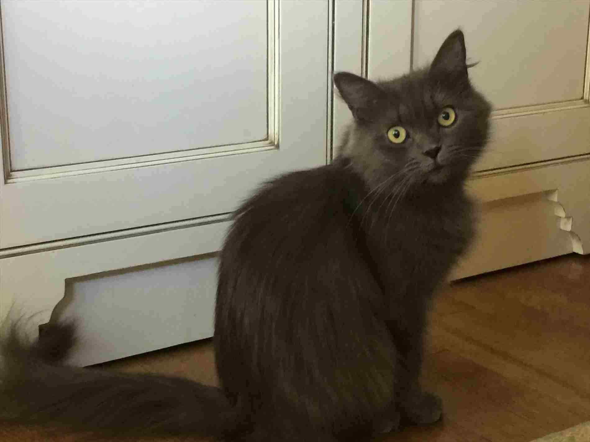 Oriental Cat Rescue London Cat For Adoption Shimmer Near Briarcliff Manor Ny Image Source Petfindercom Cats For Oriental Cat Cat Adoption Kitten Rescue