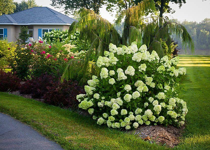 Little Lime Hardy Hydrangea Monrovia Little Lime Hardy Hydrangea Hydrangea Landscaping Hardy Hydrangea Backyard Hydrangeas