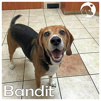 Pictures Of Bandit A Beagle For Adoption In Pittsburgh Pa Who