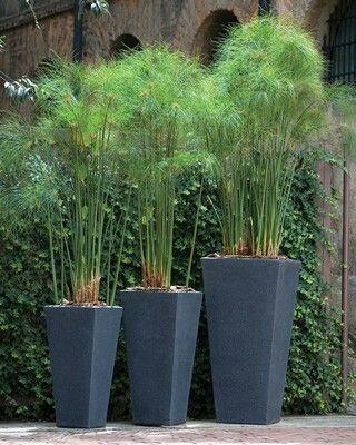 Cyprus Papyrus Umbrella Plant Garden Outdoor Planters