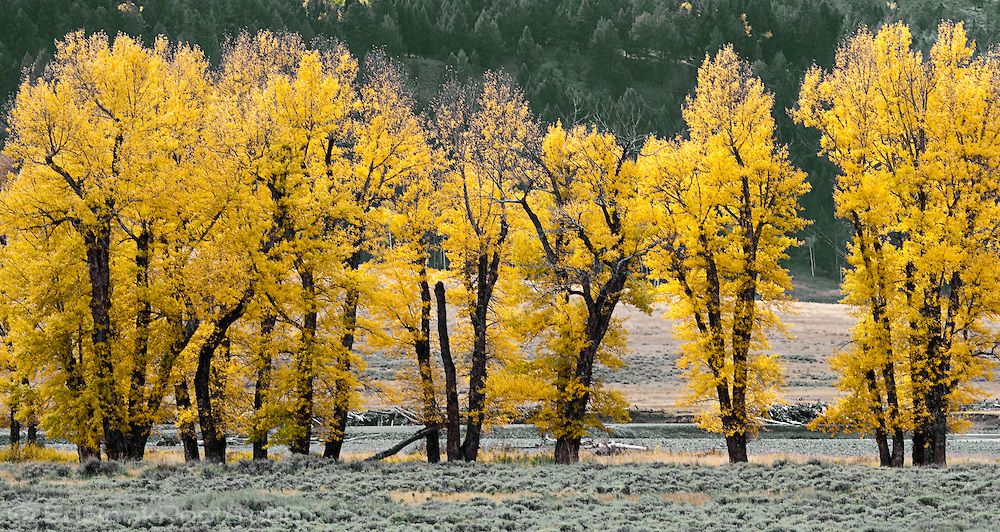 Image Result For Populus Deltoides Tree Fall Plants Fall Colors Cottonwood