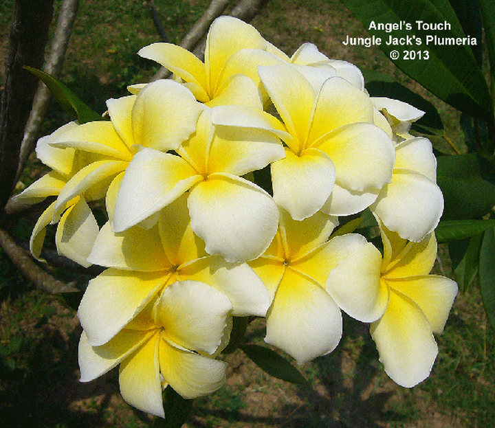 Browse Plumeria By Name With Embedded Descriptions If You D Like To Purchase Please Use Our Shop Section Angels Touch Plumeria Flowers Plumeria