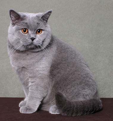 Kot Brytyjski British Blue Cat British Shorthair Cats Chartreux Cat