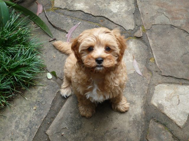 Latte toy cavoodle (With images) Puppies, Pets, Animals