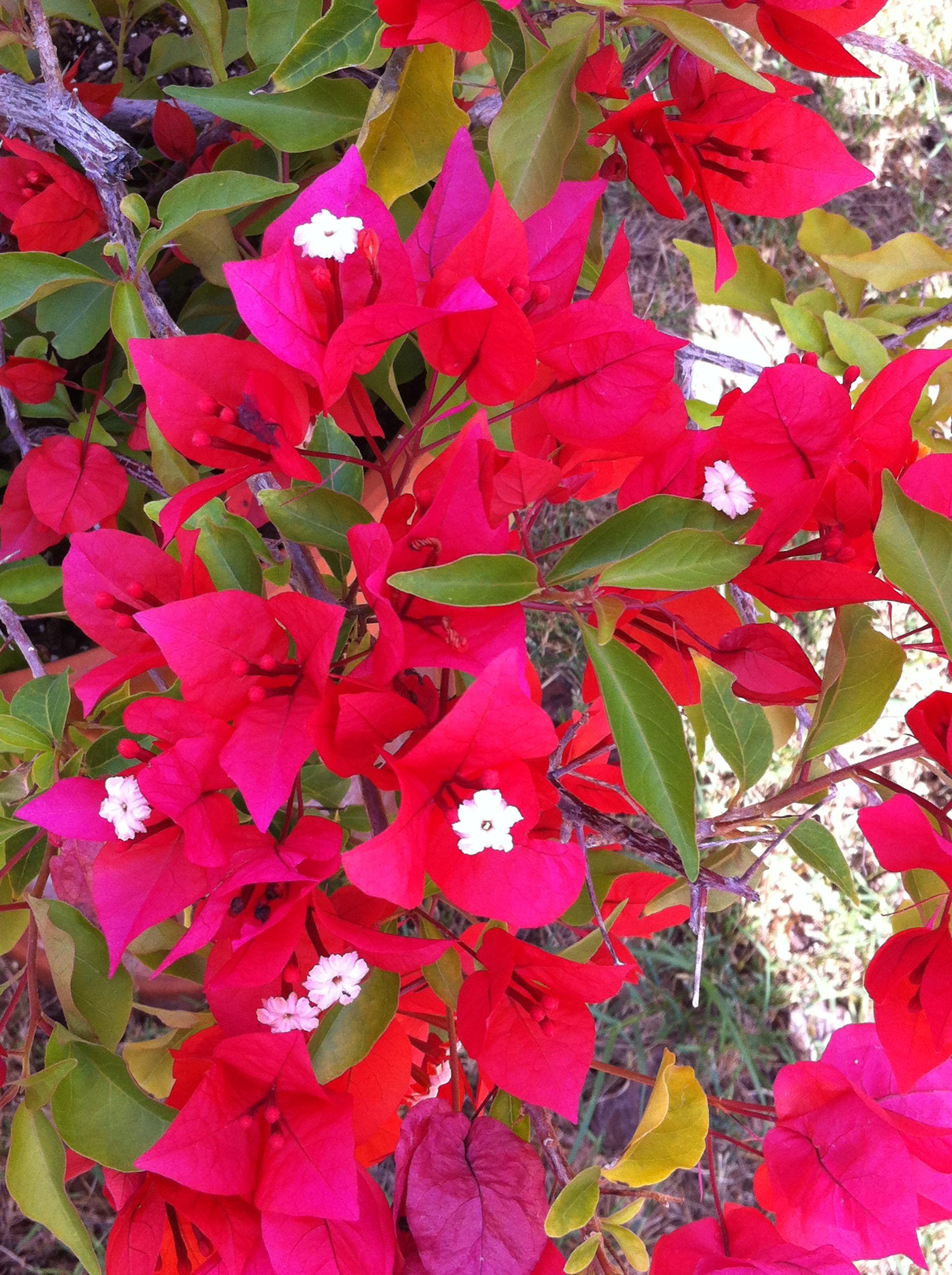 Bougainvillea plant | FLOWERS | Pinterest
