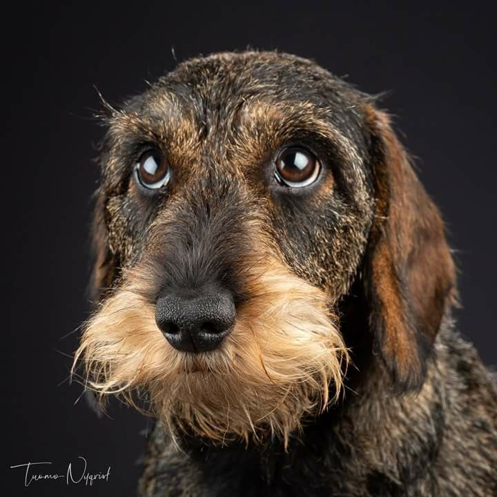 Dachshund Wirehaired With Images Dachshund Dog Dachshund