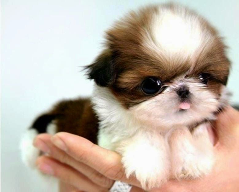 Top 10 Best Dog Breeds To Get Along With Cats The Pet S Mart Cuddly Animals Baby Shih Tzu Cute Animals
