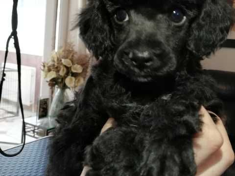 Toy Poodle Dogs And Puppies For Sale In The Uk Pets4homes