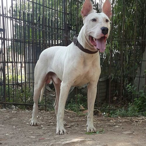 Pakistani Bull Terrier Pictures Gull Terrier 1 Dog Breeds Dog