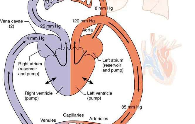 Human Circulatory System Diagram For Kids Human Body Anatomy