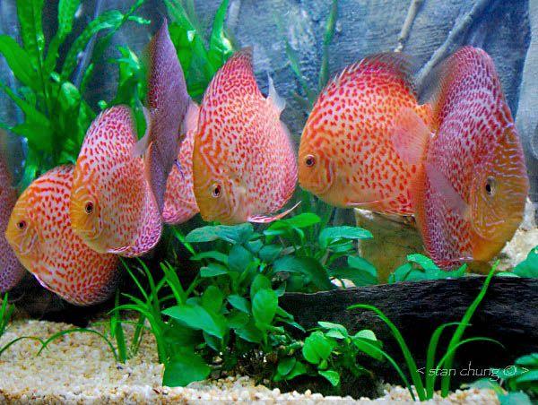 Rare discus fish location kuala lumpur malaysia for Rare aquarium fish