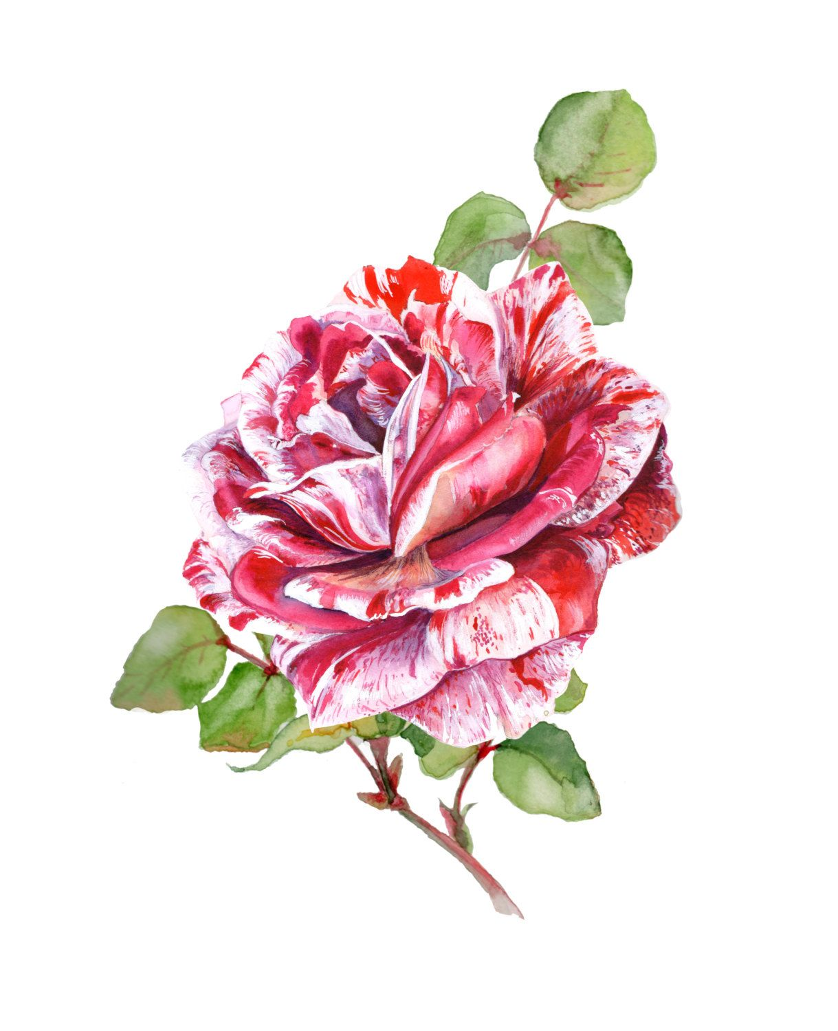Watercolor Botanical Illustration Flower Painting Red Rose